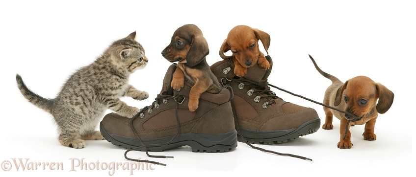 Brown spotted British Shorthair kitten and miniature smooth-haired Dachshund pups playing in walking boots, white background