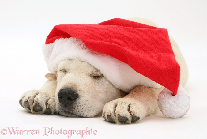 Retriever pup asleep wearing a Father Christmas hat, white background
