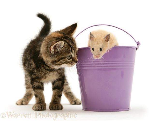Tabby kitten with hamster in a metal bucket, white background