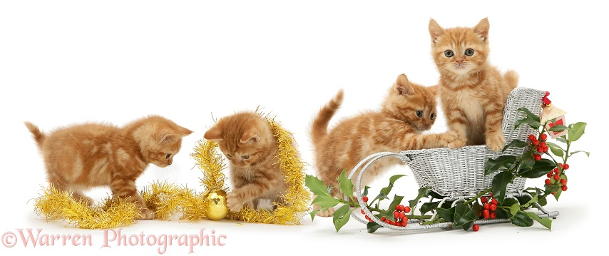 Red tabby British Shorthair kittens with festive toy sledge, tinsel and berried holly sprigs, white background