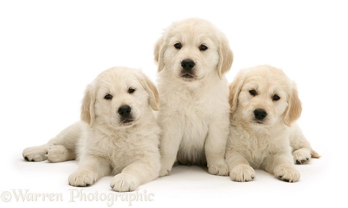 Three Golden Retriever pups, white background