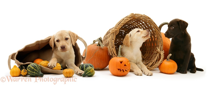 Yellow and Chocolate Retriever pups with bag, wicker basket, pumpkins and gourds at Halloween, white background