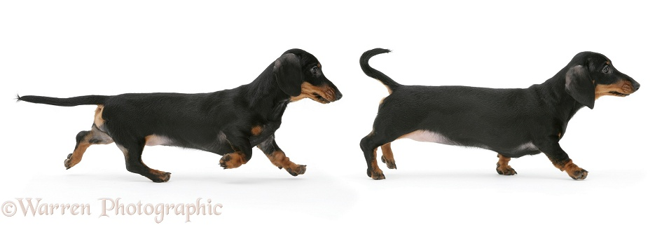 Miniature Dachshunds running, white background