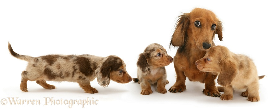 Red Dapple Miniature Long-haired Dachshund bitch Cleo with three pups, white background