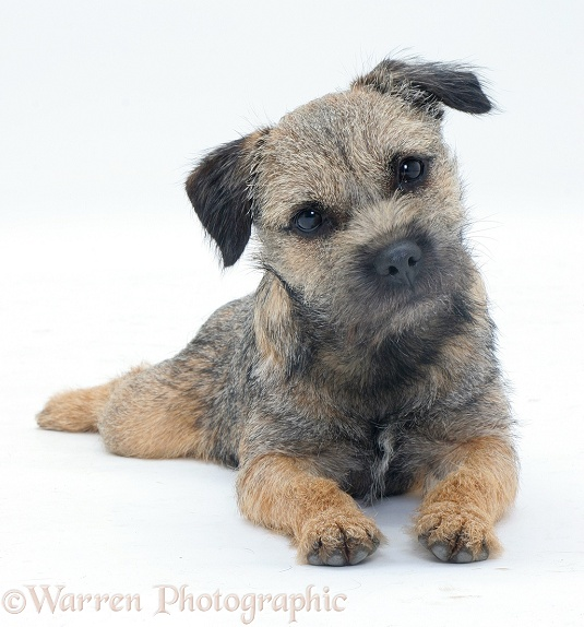 Border Terrier bitch listening with head tilted and ears cocked, white background