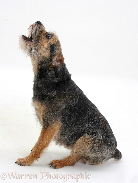 Border Terrier bitch barking, white background