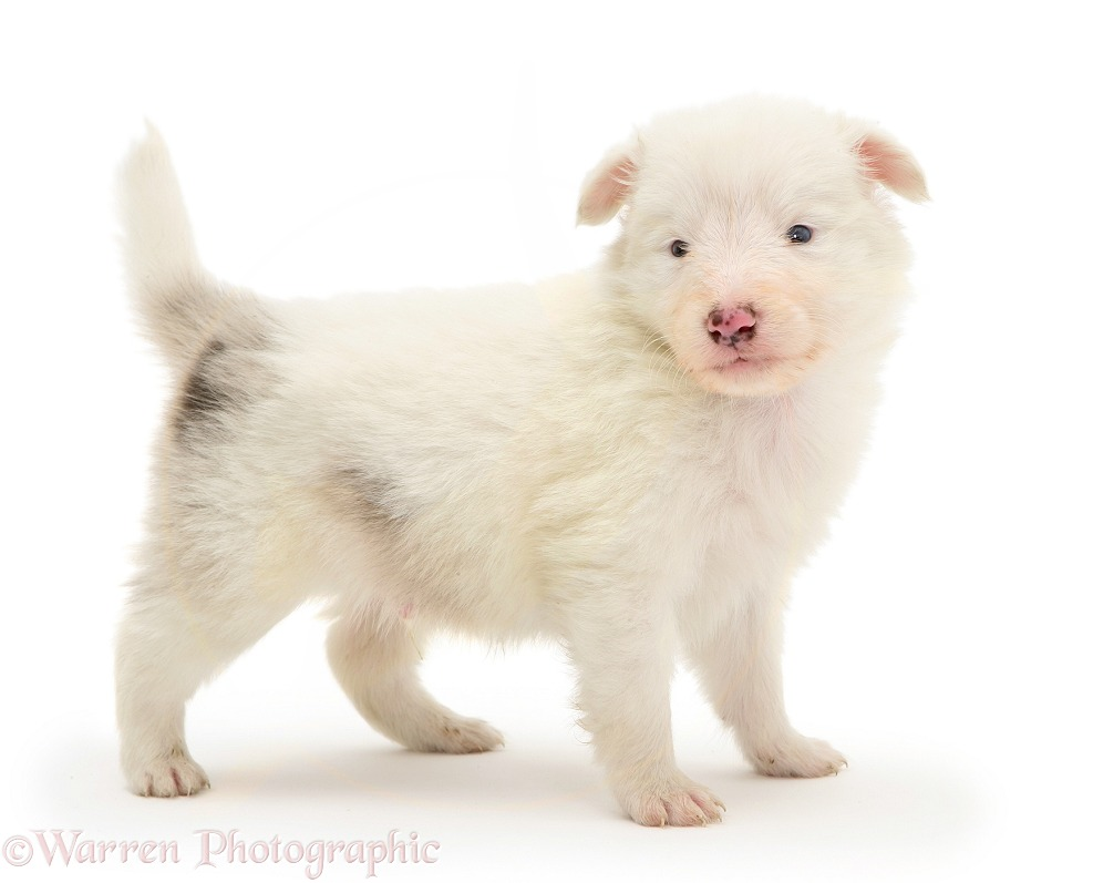 Deaf blue-eyed white Shetland Sheepdog pup, white background