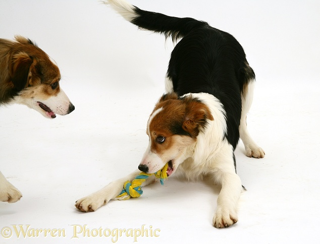 Tricolour Border Collie pup, Minstrel, play-bowing with a toy, white background