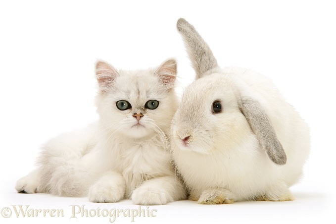 White chinchilla kitten with young silver colourpoint rabbit, white background