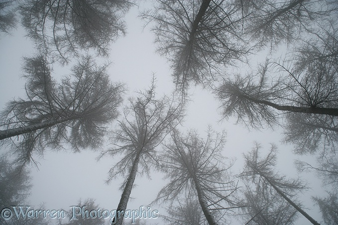 Looking up at Snowy European Larches (Larix decidua) with a misty atmosphere.  Surrey, England