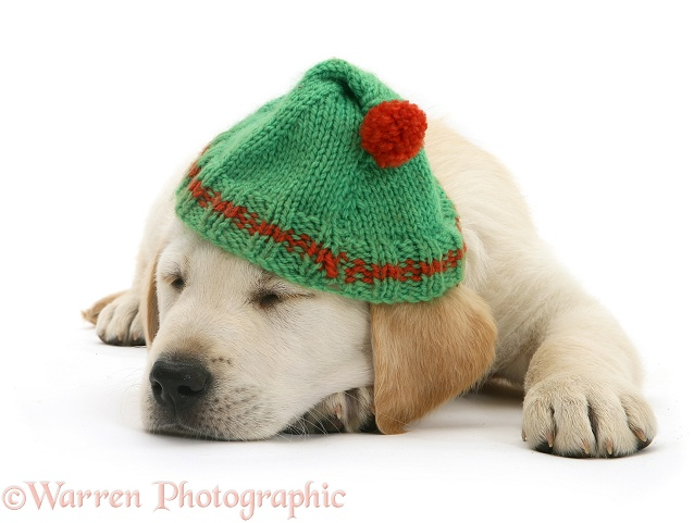 Yellow Labrador Retriever puppy asleep wearing a green bobble hat, white background