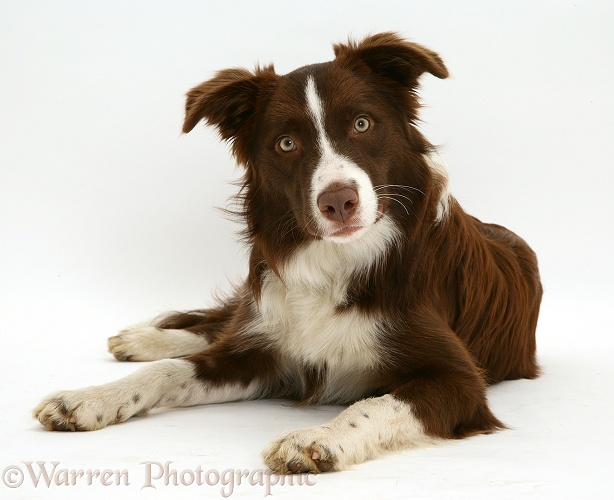 Chocolate registered Border Collie dog, Milo, 9 months old, white background