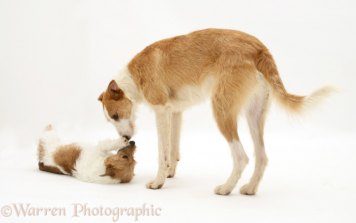 Lurcher, Kipling, playing with Jack Russell Terrier, Buttercup, white background