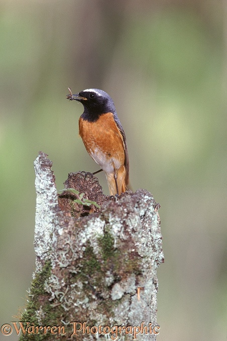 Redstart (Phoenicurus phoenicurus) male with click beetle.  Europe