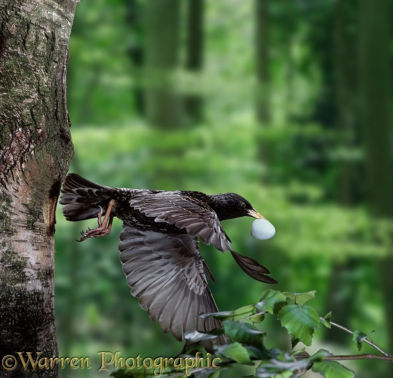 European Starling (Sturnus vulgaris) parent leaving nest hole carrying eggshell.  Europe introduced elsewhere