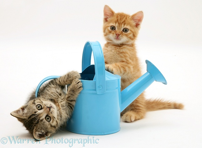 Kittens playing with a toy watering can, white background