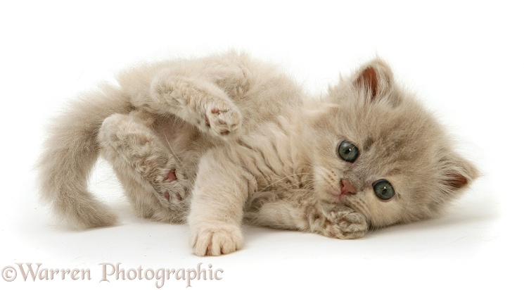 Lilac-tortoiseshell Persian-cross kitten, white background