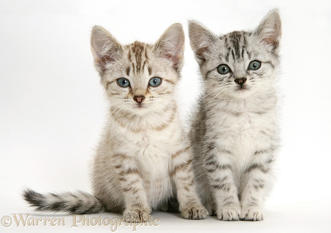Silver tabby Bengal-cross kittens, white background