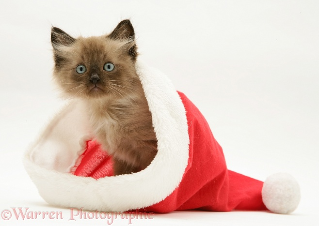 Chocolate Birman-cross kitten in a Father Christmas hat, white background
