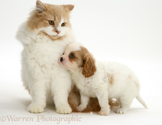 Blenheim Cavalier King Charles Spaniel pup with a ginger-and-white cat, white background
