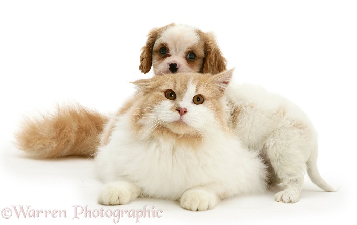 Blenheim Cavalier King Charles Spaniel pup playing with a ginger-and-white cat, white background