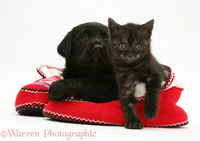 Black Goldador Retriever pup with Black Smoke Spotted British Shorthair kitten in a pair of knitted slippers, white background