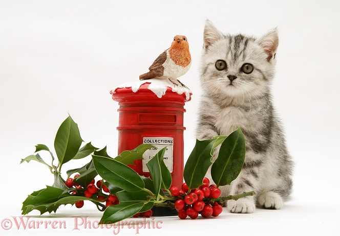Silver tabby kitten with festive toy post box and holly