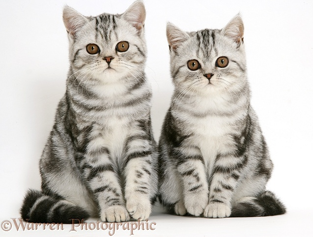 Silver tabby kittens, white background