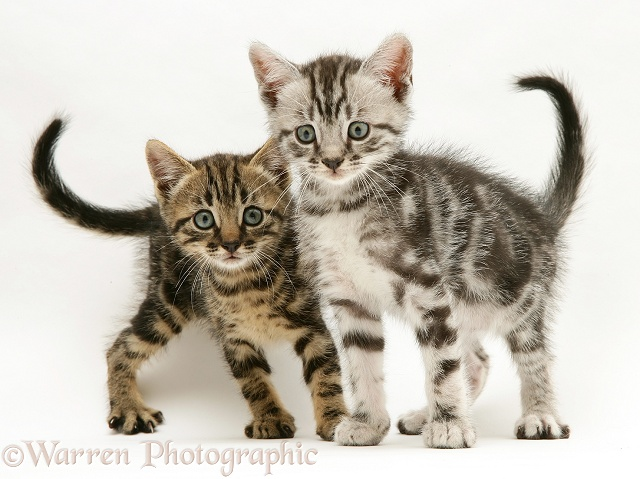 Brown and silver tabby kittens, white background