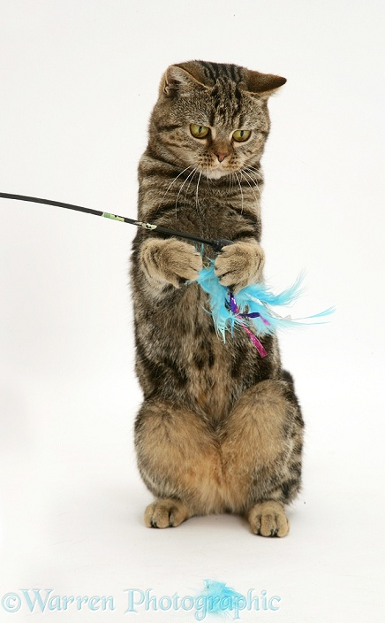 Tabby cat, Tiger Lily, playing with a feather duster, white background