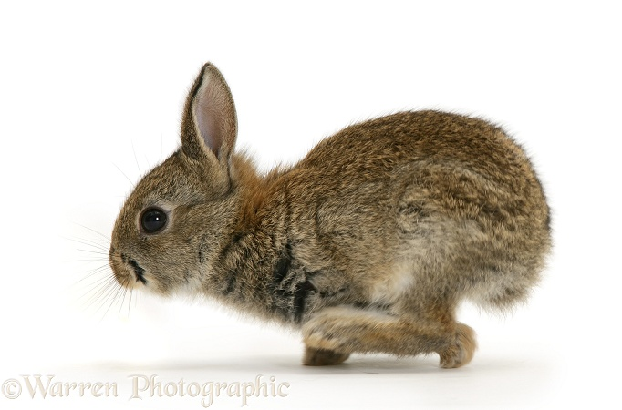 Baby European Rabbit (Oryctolagus cuniculus), white background