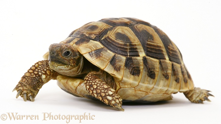 Baby Hermann's Tortoise (Testudo hermanni), 18 months old, white background