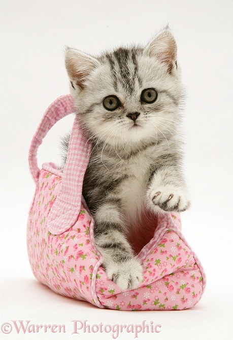 silver tabby kitten in a child s pink cloth bag photo