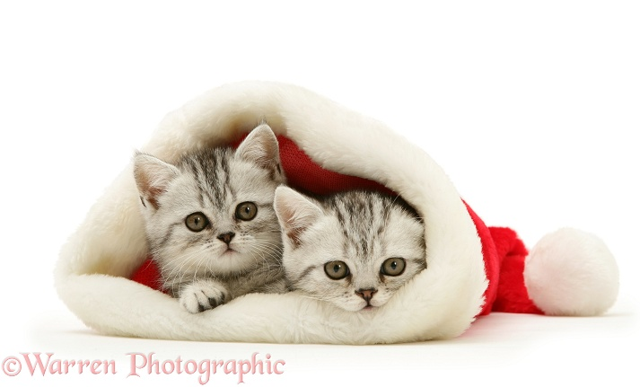 Pair of silver tabby kittens in a Santa hat, white background