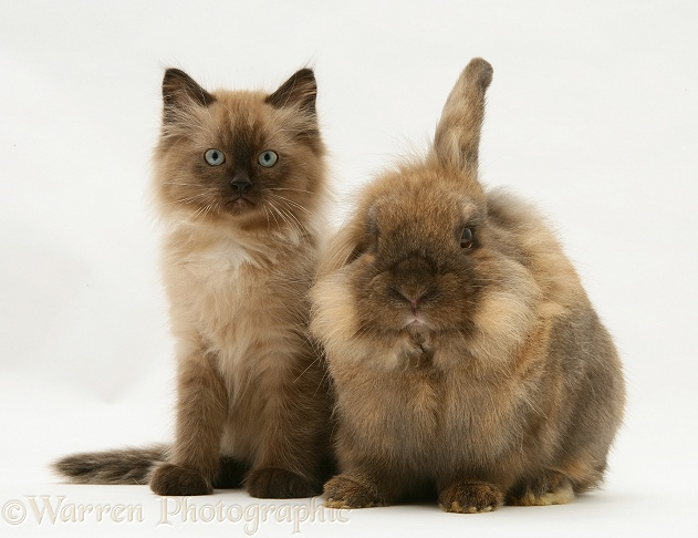 Chocolate Birman-cross kitten with chocolate Dwarf Lionhead rabbit, white background