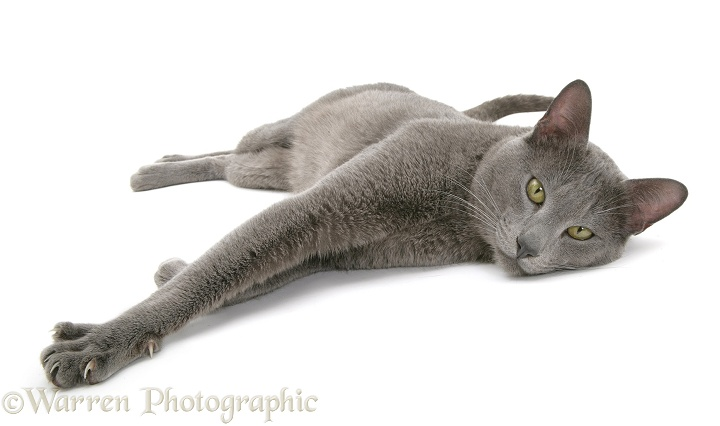 Blue Tonkinese cat, Dell, lying with paws stretched out, white background