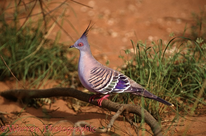 Crested Pigeon (Ocyphaps lophotes).  Australia
