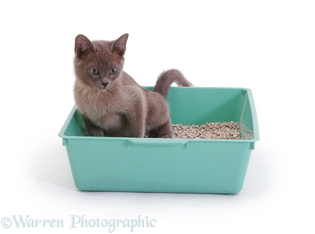 Blue Burmese kitten, 8 weeks old, urinating in green litter tray, white background