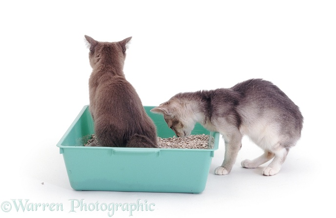 Blue-cream kitten watching what her sister is doing in the litter tray!, white background