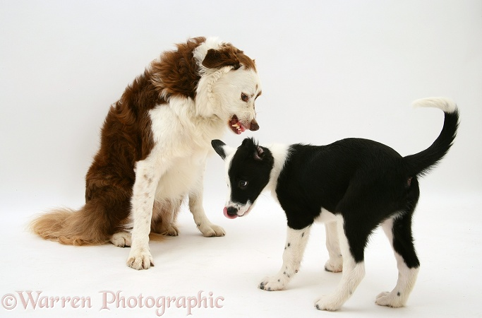 White-faced Border Collie, Teddy, snarling at pup, Kicker, who tongue flicks ingratiating in return, white background