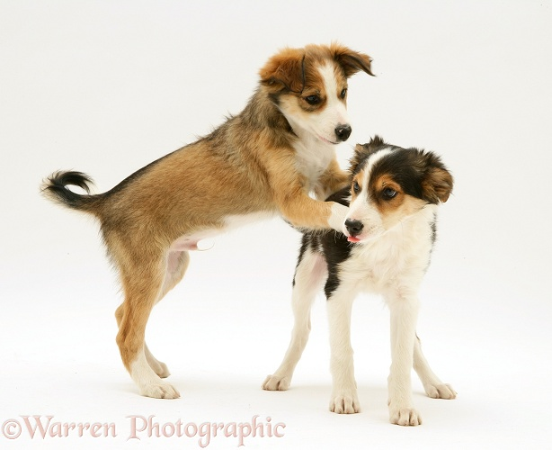Sable Border Collie pup asserting dominance over his brother by putting his paws on his shoulders, white background