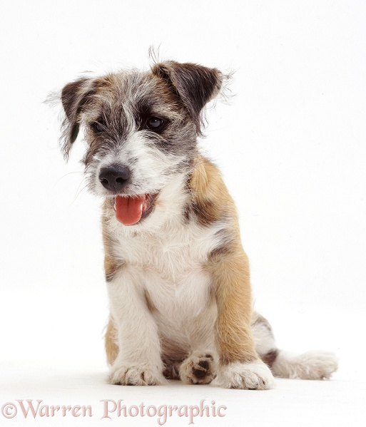 Young Jack Russell Terrier cross pup, Jorge, white background