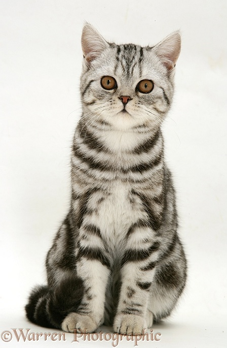 Silver tabby cat sitting, white background