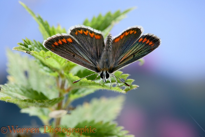 Brown Argus Butterfly (Aricia agestis) on nettle.  Europe