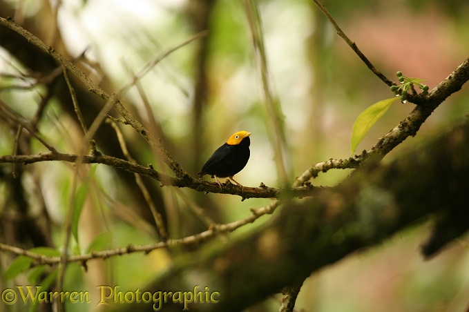 Golden-headed Manakin (Pipra erythrocephala) male.  South & Central America