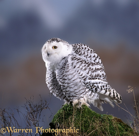 Snowy Owl (Nyctea scandiaca) female with feathers fluffed after preening.  Arctic