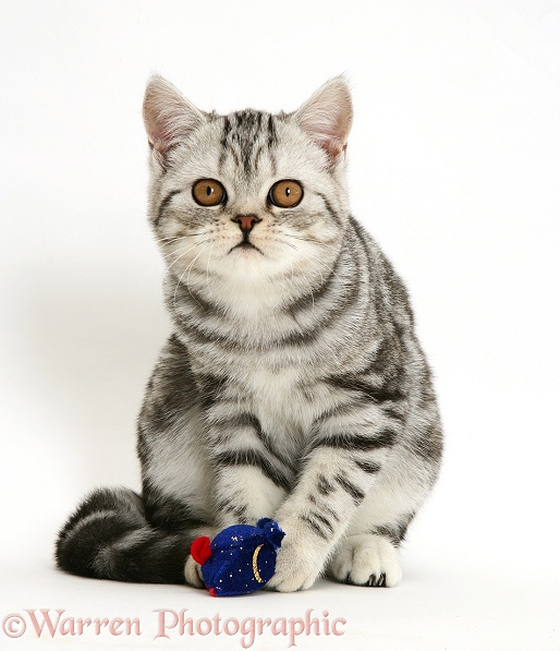 Silver tabby cat staring intently, white background