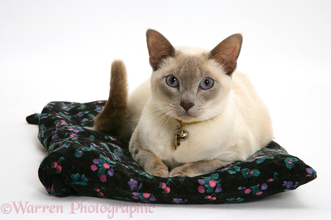 Siamese-cross cat, Isaac, lying comfortably on a cushion, white background