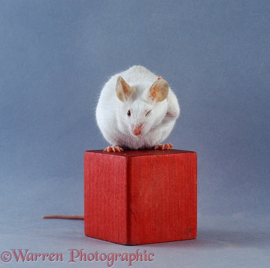 Albino Himalayan pet mouse washing behind its ears on a red wooden brick