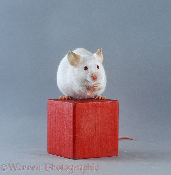 Albino Himalayan pet mouse sitting on a red wooden brick